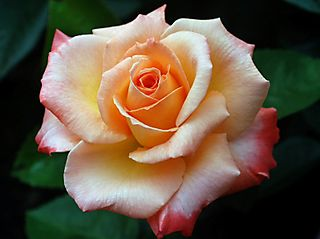 Rose lo res