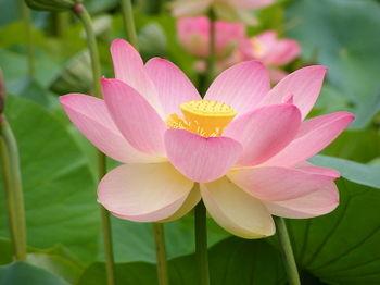 Nelumno_nucifera_lotus_flower